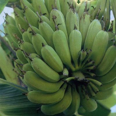 купить Банановая пальма Пигмей