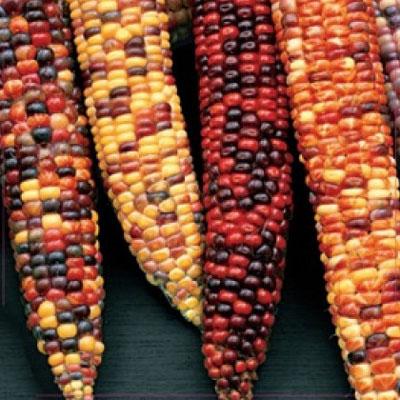 Купить Кукуруза цветная Амеро