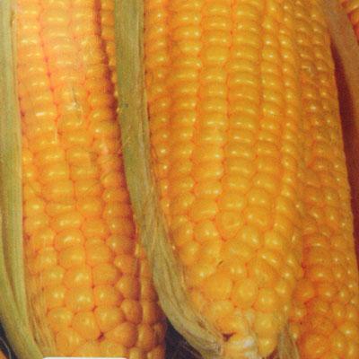 Купить Кукуруза Супер Супер Сладкая