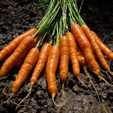 Морковь канада