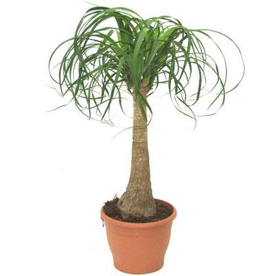 Купить Пальму Бокарнея (Нолина)
