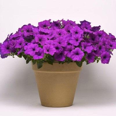 Купить Петуния Изи вейв F1 фиолетовая