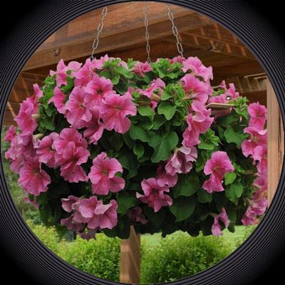Купить Петуния Сферика F1 Роз Морн крупноцветковая