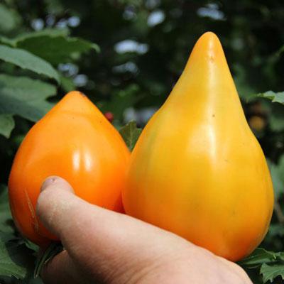 Купить Томат Лискин нос (Оранжевое сердце) 5 шт