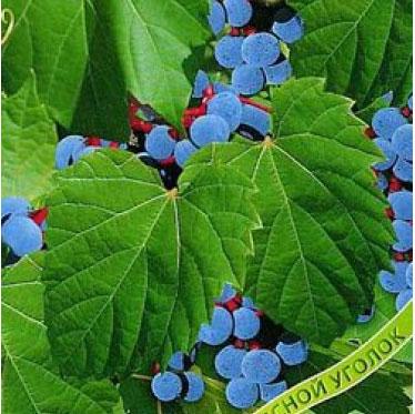 Купить Виноград приречный Зеленая гора