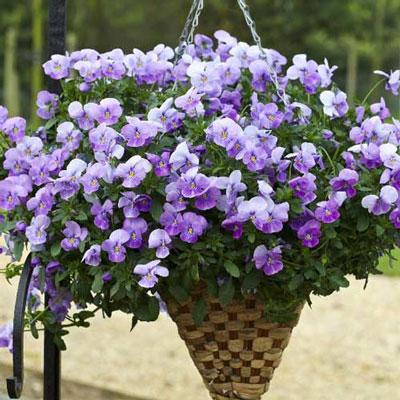 Купить Виола Водопад лиловый (Виттрока, Анютины глазки)
