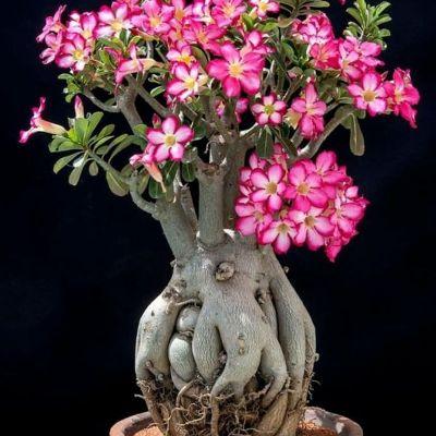 Купить Адениум Роза Пустыни