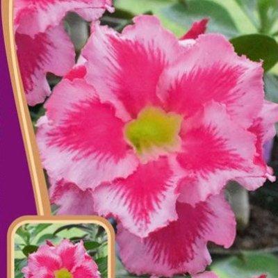 Купить Адениум Розовая Мечта