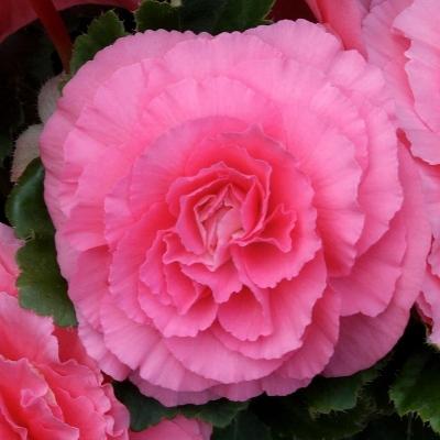 Купить Бегония Америгибрид Пикоти розовая PanAmerican