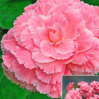 Купить Бегония Америгибрид розовая PanAmerican