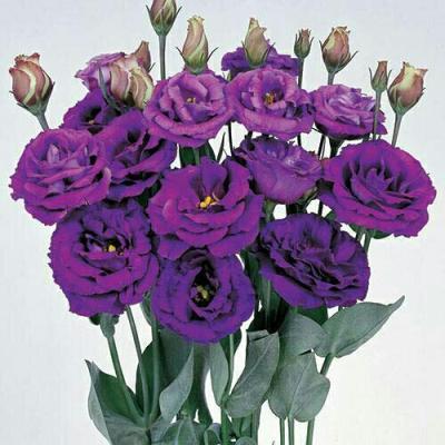 купить Эустома Эхо пурпур