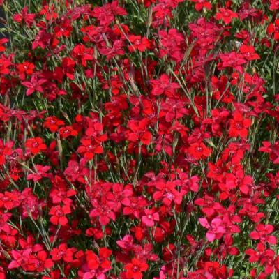 Купить Гвоздика травянка Бриллиант