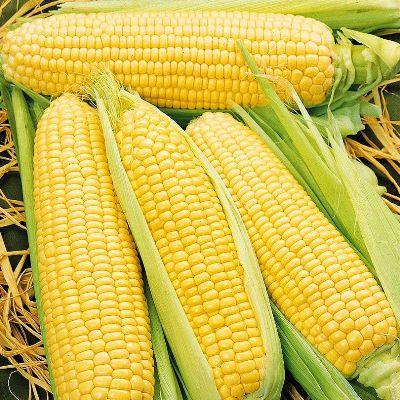 Купить Кукуруза Спирит