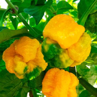 Купить перец Тринидадский скорпион желтый