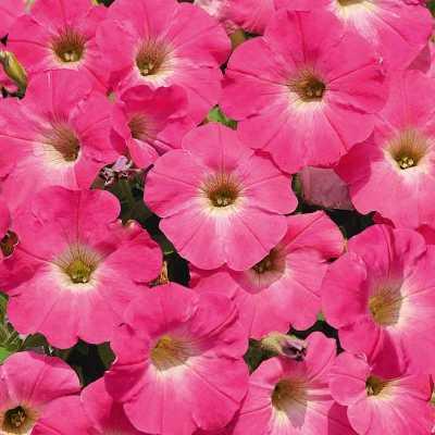 Купить Петуния Минибелло розовая