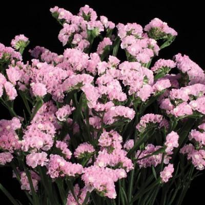 Купить Статица Суприм розовая