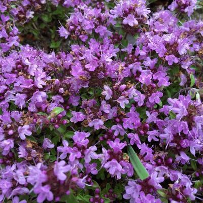 купить Тимьян стелющийся Пурпурный ковер