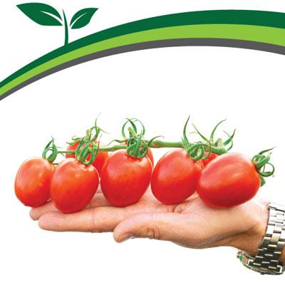 Купить томат Моне