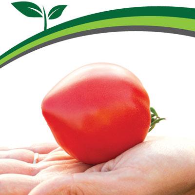 Купить томат Папина дочка