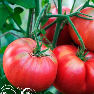 Купить Томат Сызранская розовая ранняя помидора