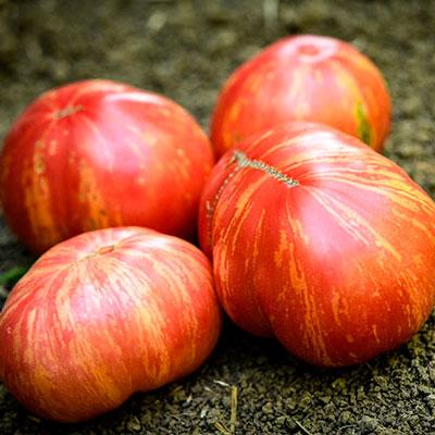 Купить томат Винтаж