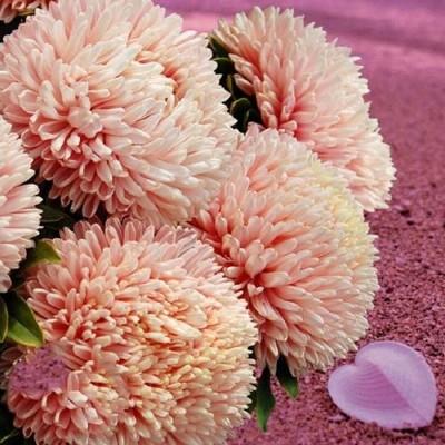 Купить Астра китайская Хризантелла Розовый перламутр