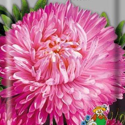 Купить Астра Королевский размер розовая