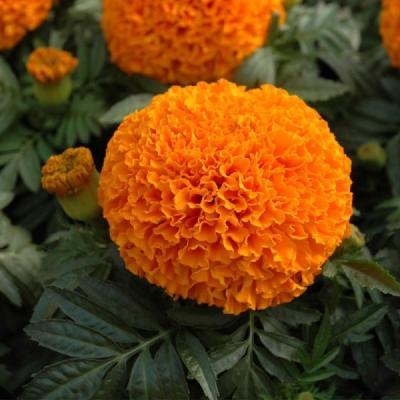 Купить Бархатцы Антигуа оранжевые