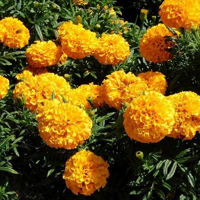 Купить Бархатцы срезочные Бархатный сезон махровые крупноцветковые