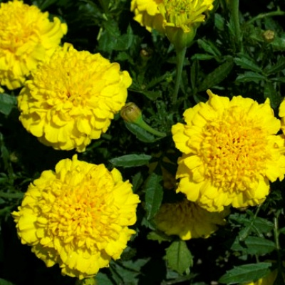Купить Бархатцы низкорослые желтые Петит
