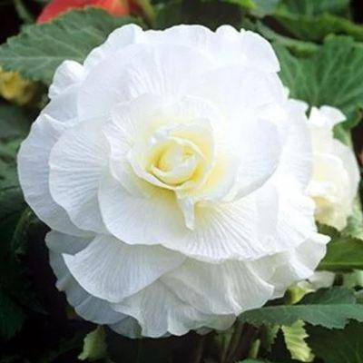 Купить Бегония клубневая махровая Камелия белая