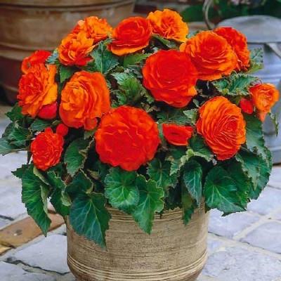 Купить Бегония клубневая супермахровая Нон-стоп оранжевая