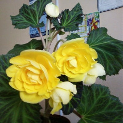 Бегония клубневая махровая Фортуна Йеллоу (желтая)