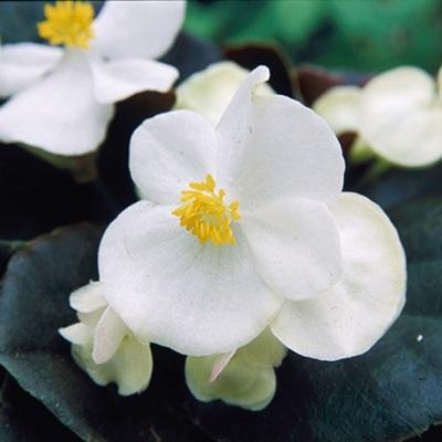 Купить Бегония вечноцветущая Гавана Вайт
