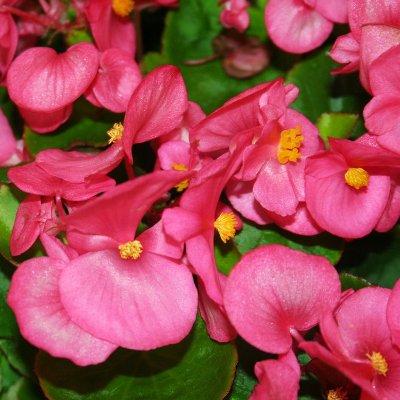 Купить Бегония вечноцветущая Монза Роуз