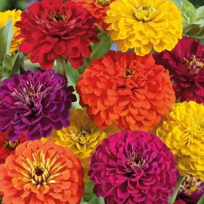 Купить Цинния крупноцветковая смесь окрасок