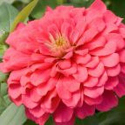 Купить Цинния Сенсация розовая