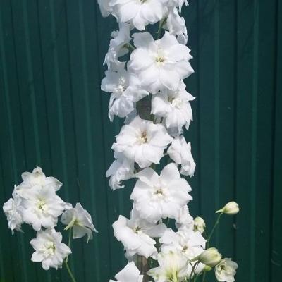 Купить Дельфиниум Новозеландский гигант белый махровый