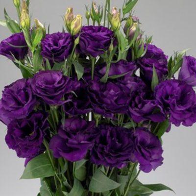 Купить Эустома Эхо пурпур F1 крупноцветковая махровая