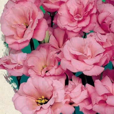 Купить Эустома Эхо розовая F1 крупноцветковая махровая