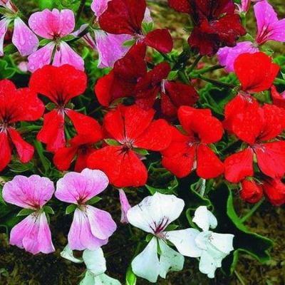 Купить Герань садовая ампельная Водопад лета
