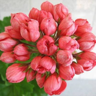 Купить Герань тюльпановидная Патриция Андреа