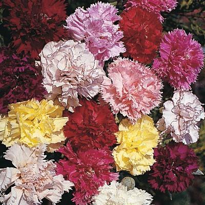 Купить Гвоздика многолетняя Божественный цветок