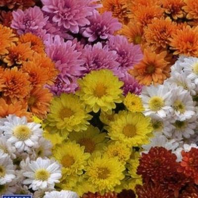 Купить Хризантема корейская Бархатная осень смесь