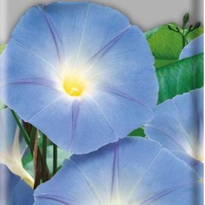 Купить Ипомея голубая Небосвод