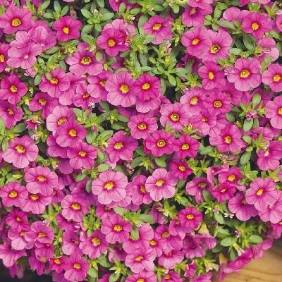 Купить Калибрахоа Розовый шелк