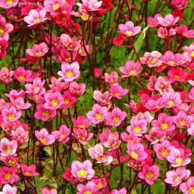 Купить Камнеломка Арендса Розовый ковер