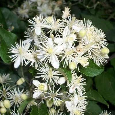 Купить Клематис жгучий мелкоцветковый белый