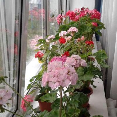 Купить Пеларгония для балкона Палитра красок