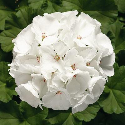 Купить Пеларгония зональная белая Магия лета